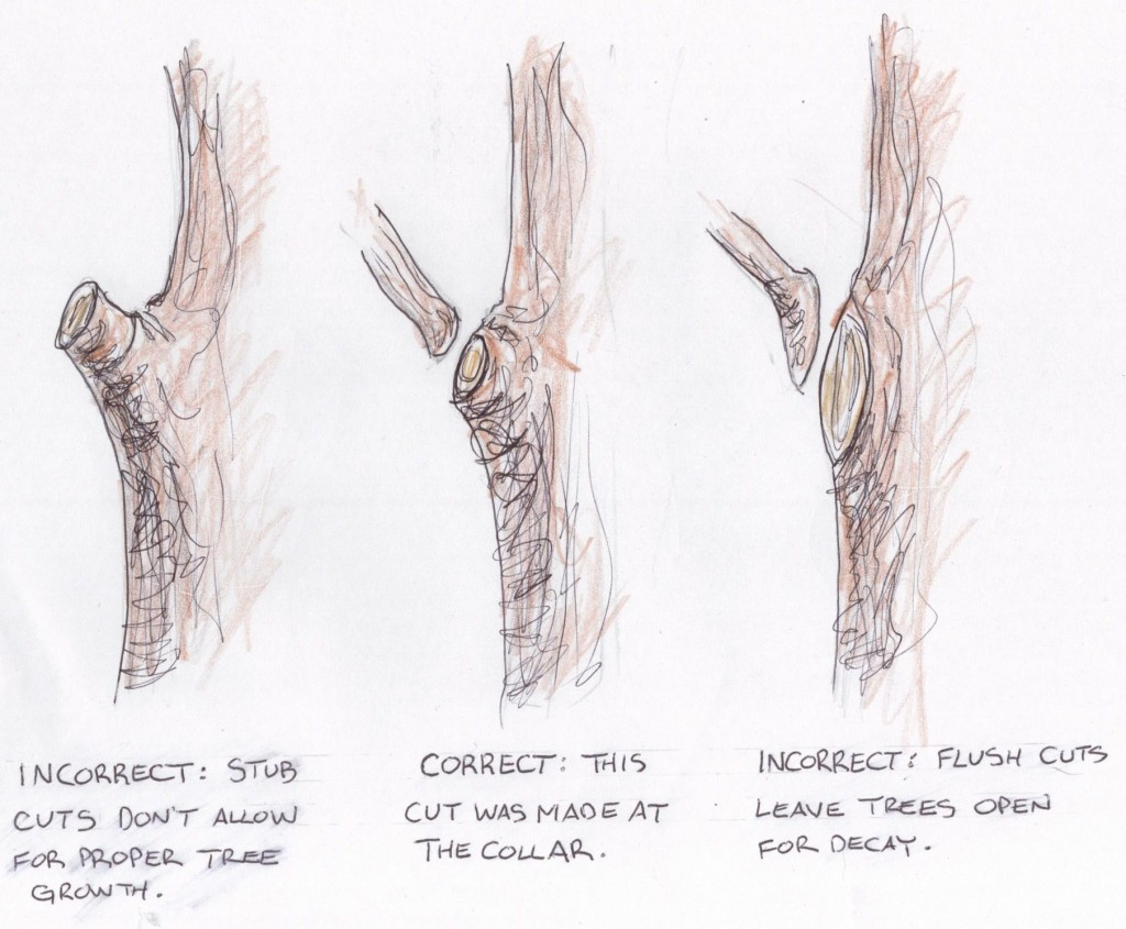 correct and incorrect pruning cuts