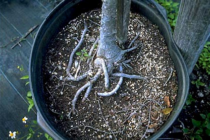 tree root defects- planting healthy trees