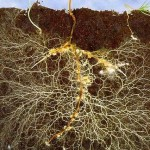 Mycorrhizal fungi can greatly increase the root mass of even young seedlings. These biofertilizers work to create strong and healthy root systems for your tree.